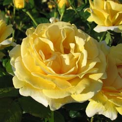 Rose 'Michelangelo'